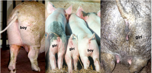 Woman has sex with a pig